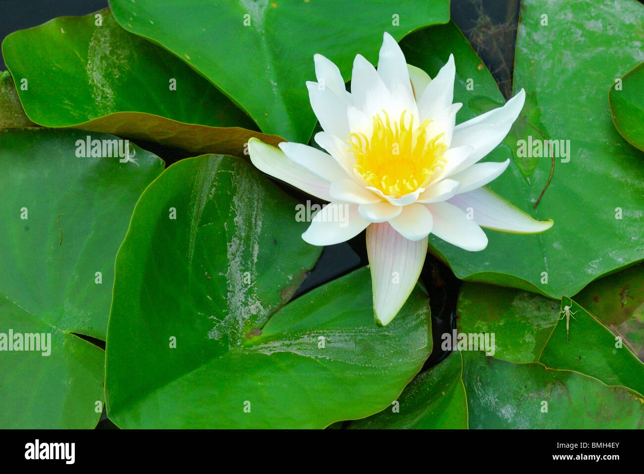 Nymphaea lotus the tiger lotus white lotus or egyptian white stock nymphaea lotus the tiger lotus white lotus or egyptian white water lily is a flowering plant of the family nymphaeaceae izmirmasajfo