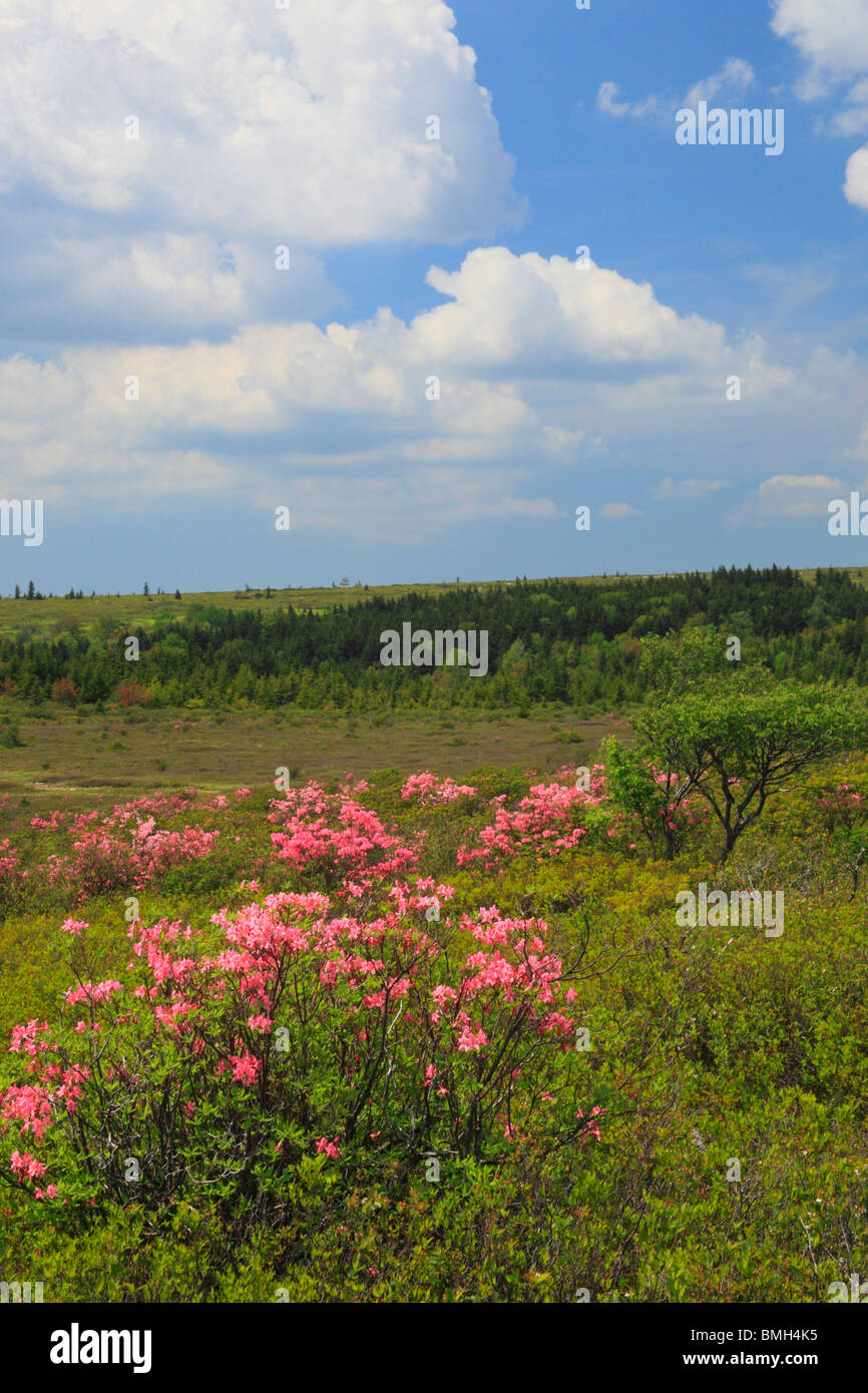 Wild Pink Azaleas, Dolly Sods Wilderness Scenic Area, Hopeville, West Virginia - Stock Image