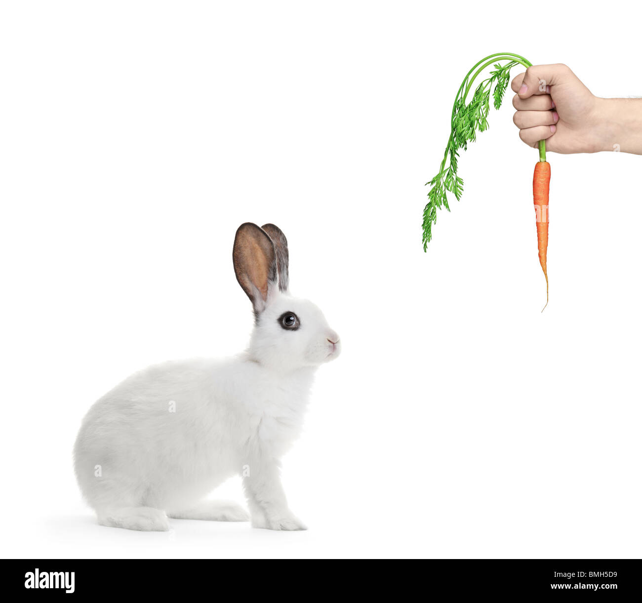 A white rabbit and a hand holding a carrot - Stock Image