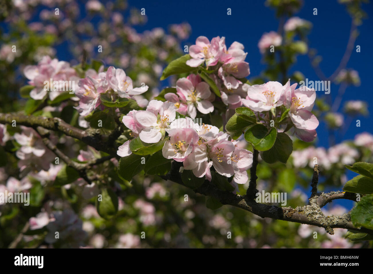Pink and white blossom on a Granny Smith apple tree in Scotland in springtime Stock Photo