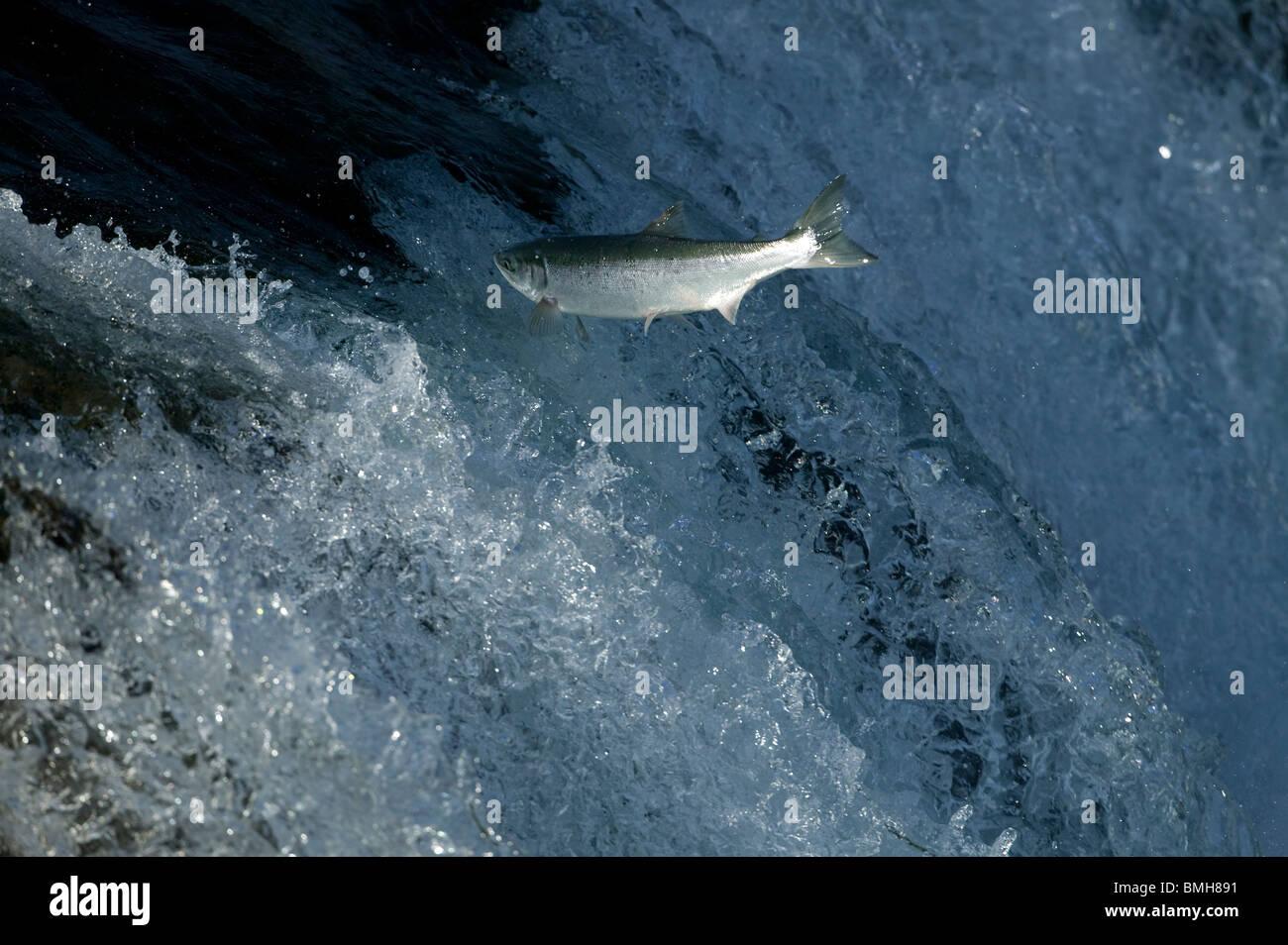 Sockeye salmon swimming upstream, Brooks Falls, Katmai National Park, Alaska - Stock Image