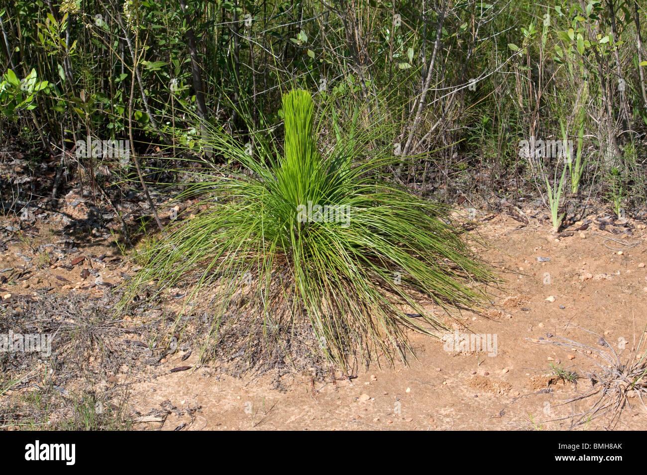 Longleaf Pine Seedling Pinus palustris Alabama USA - Stock Image