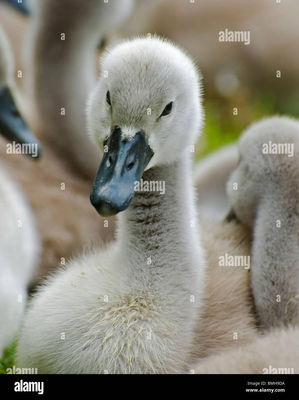 A family of Mute Swan cygnets Stock Photo