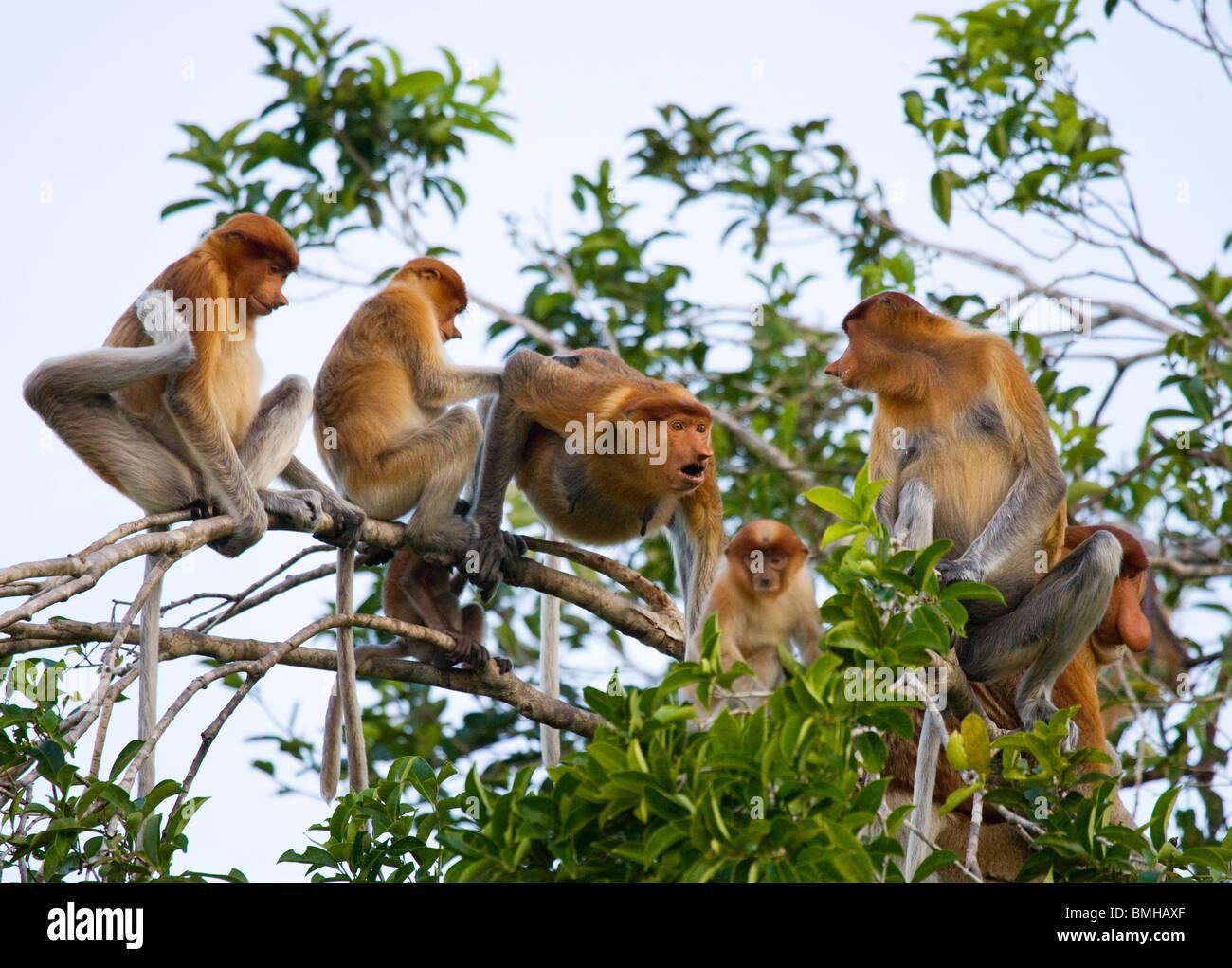 Proboscis monkeys, Tanjung Puting National Park, Kalimantan, Indonesia - Stock Image