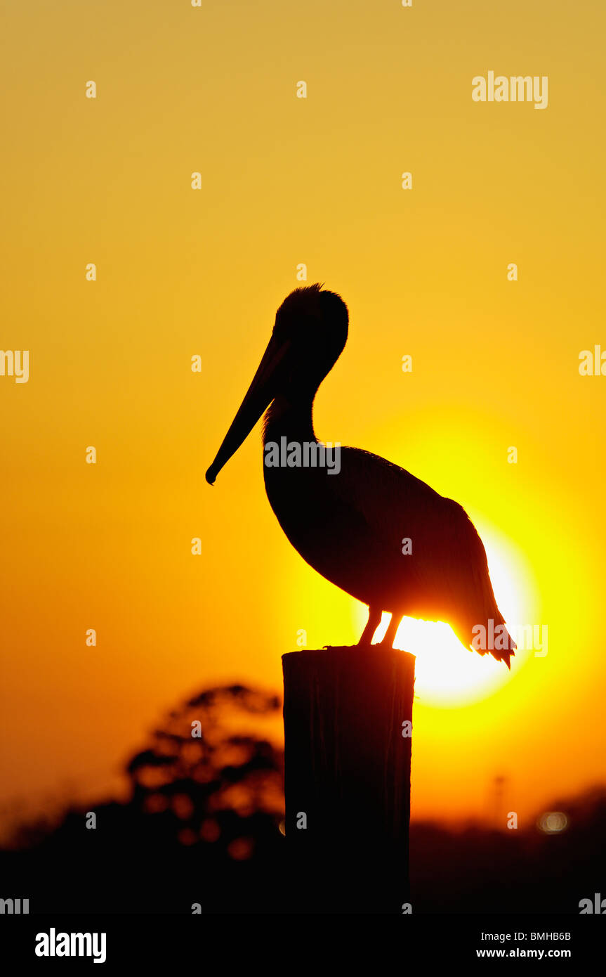 Brown Pelican Silhouetted against Setting Sun on Dock Piling in Shem Creek in Mount Pleasant, South Carolina - Stock Image