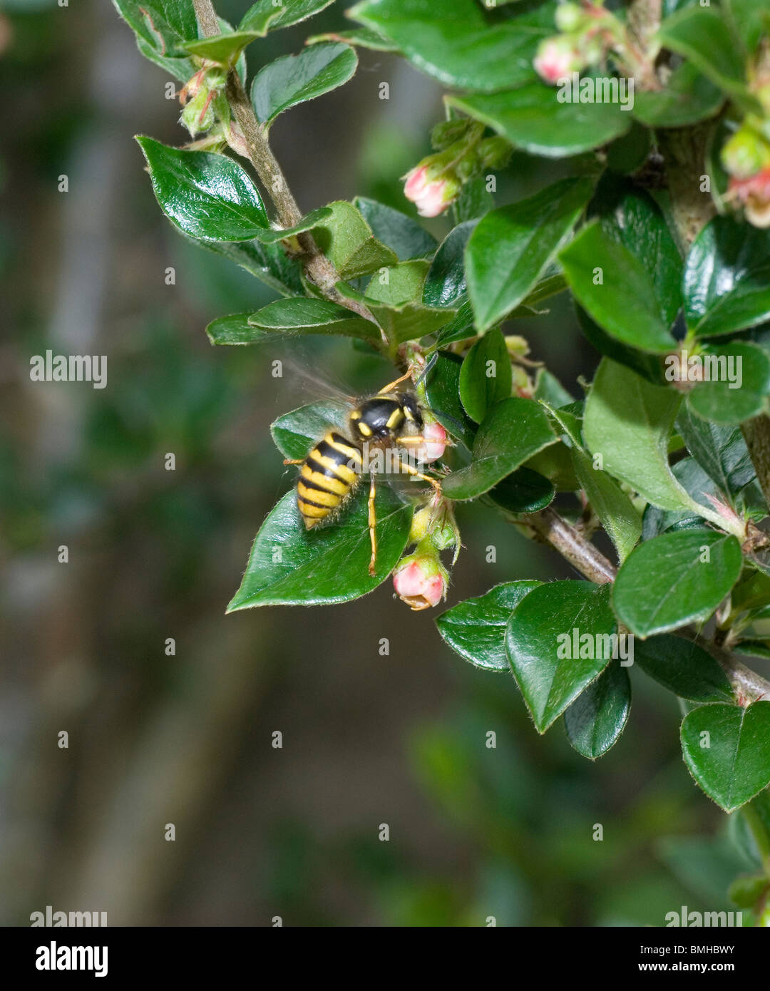 Wasp feeding on nectar - Stock Image