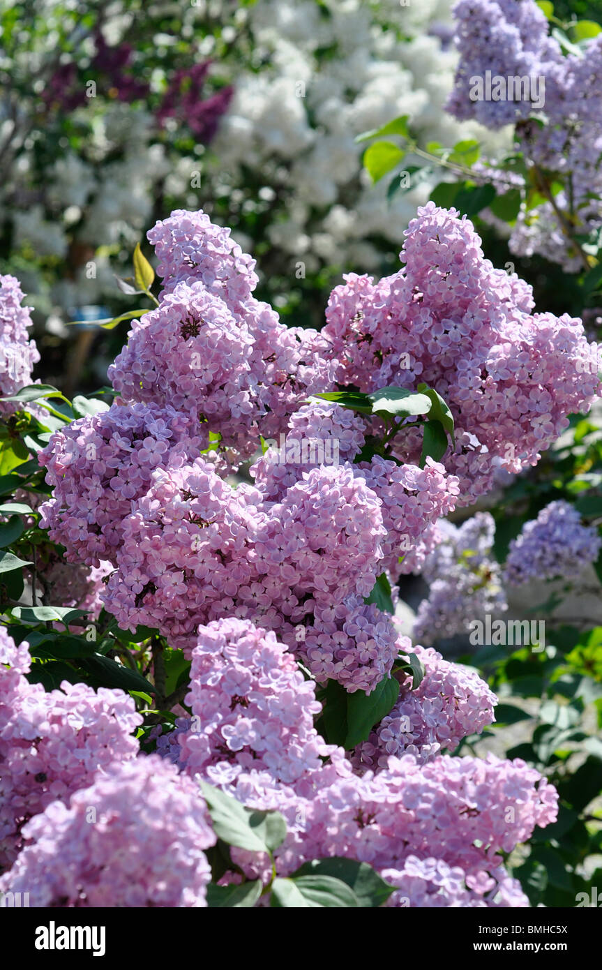 Lilac Blossoms - Stock Image