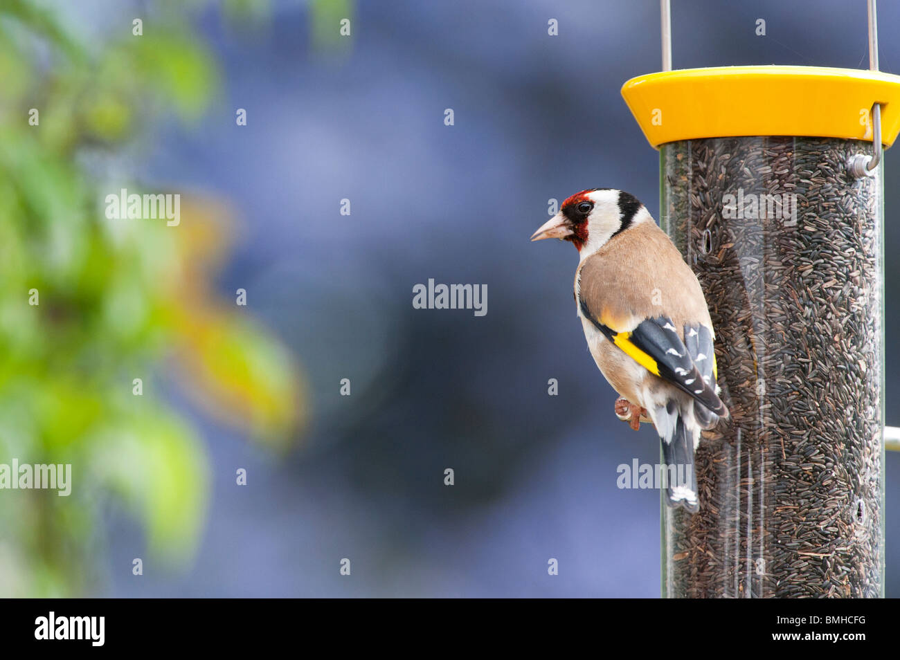Goldfinch on a nyjer bird seed feeder in a garden - Stock Image