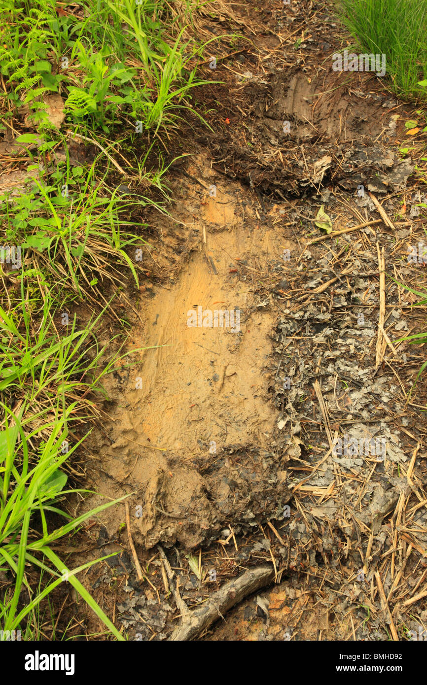 Bear Paw Print on Rohrbaugh Trail, Dolly Sods Wilderness, Hopeville, West Virginia - Stock Image