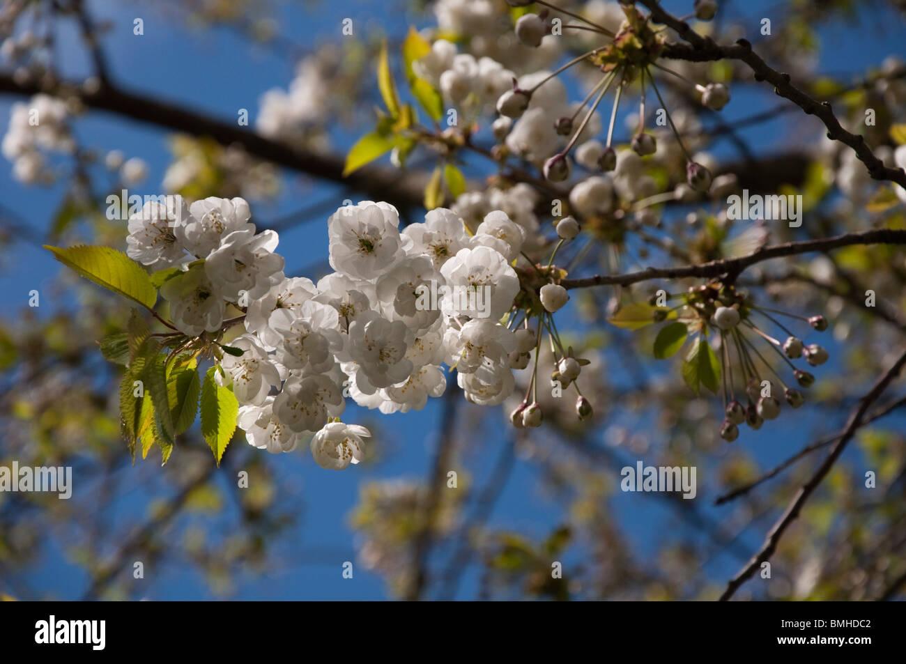 White springtime blossom in scotland flowering cherry tree stock white springtime blossom in scotland flowering cherry tree mightylinksfo