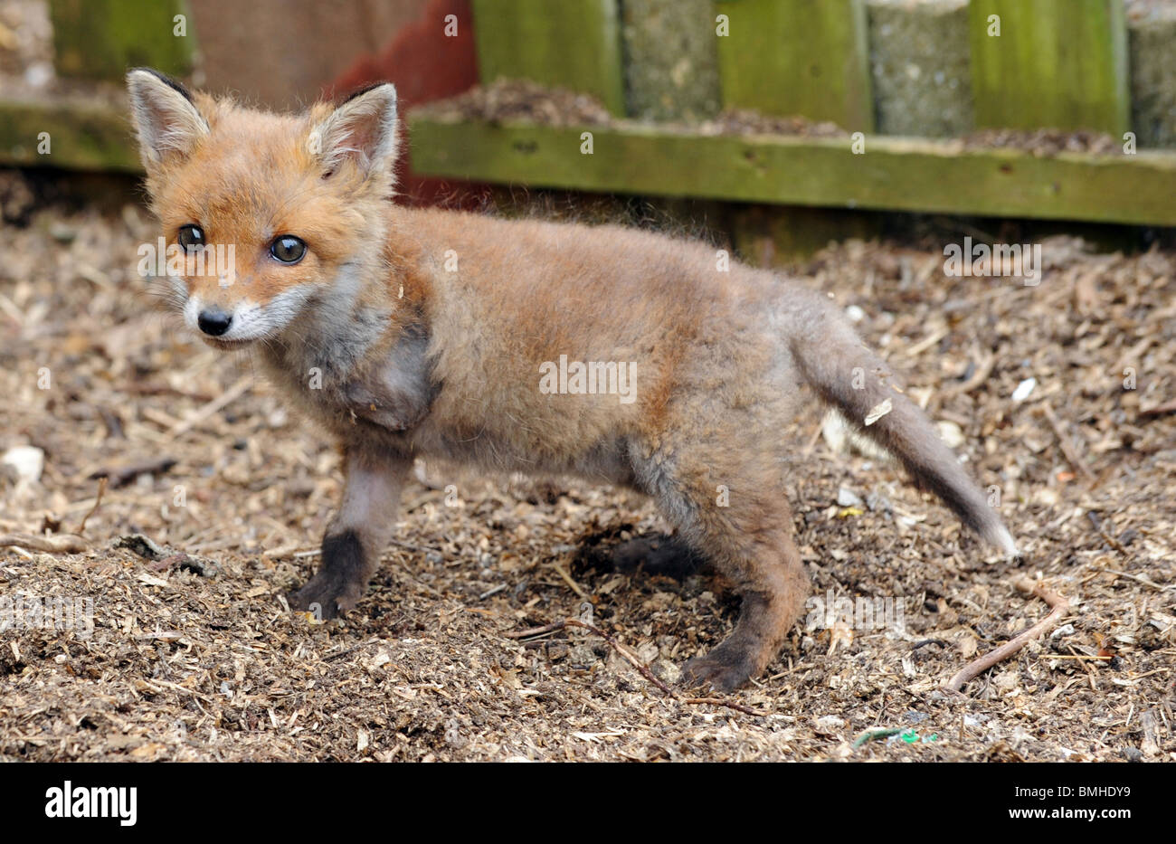 A fox cub that lost one of his front legs in an accident at an animal rescue centre in Sussex - Stock Image