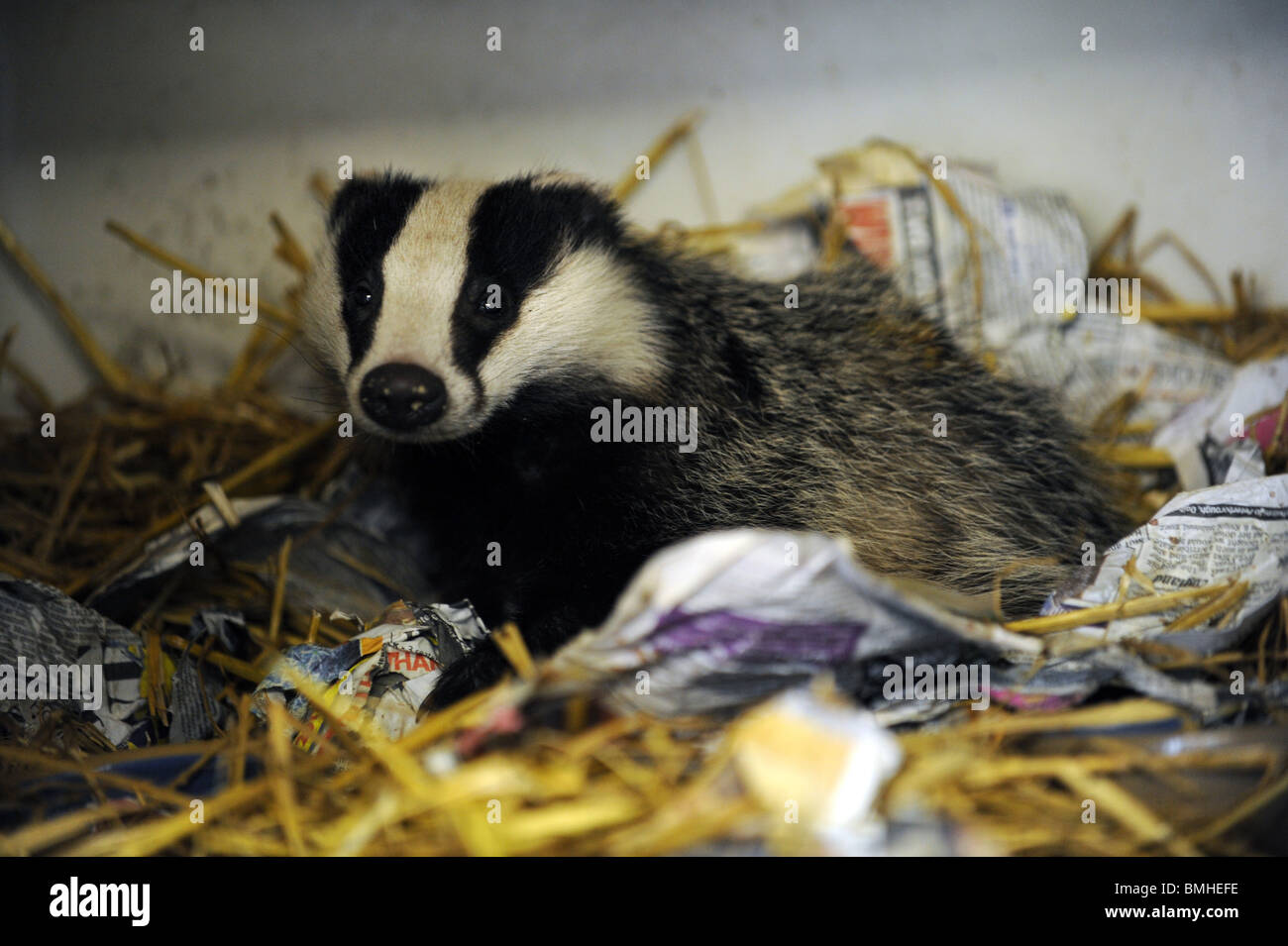 An injured Badger recovering at an animal rescue centre in Sussex - Stock Image