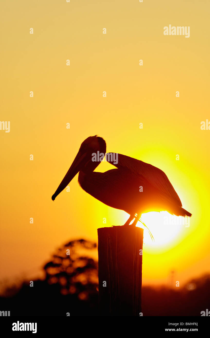 Brown Pelican about to take Flight Silhouetted against Setting Sun on Dock Piling in Mount Pleasant, South Carolina - Stock Image
