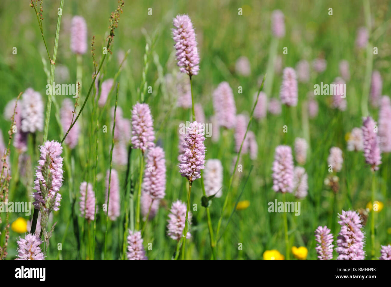 Purple Clover Flowers In The Field Stock Photo 29890271 Alamy