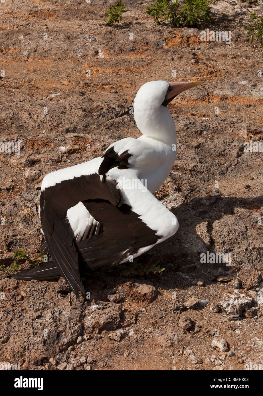 A Nazca Booby with wings swept back on Genovesa Island in the Galapagos Islands - Stock Image
