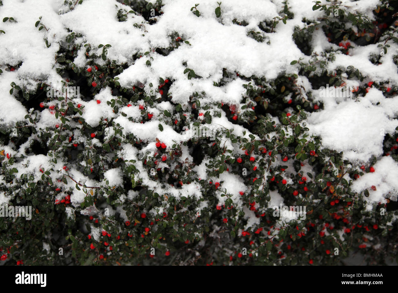 Snow covered shrubbery in Westerpark - Stock Image