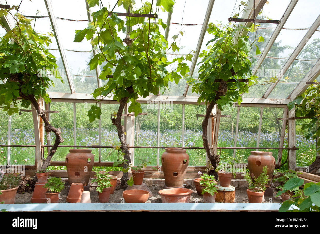 Vines And Terracotta Pots Inside The Greenhouse At Bryanu0027s Ground Garden,  Stapleton, Herefordshire