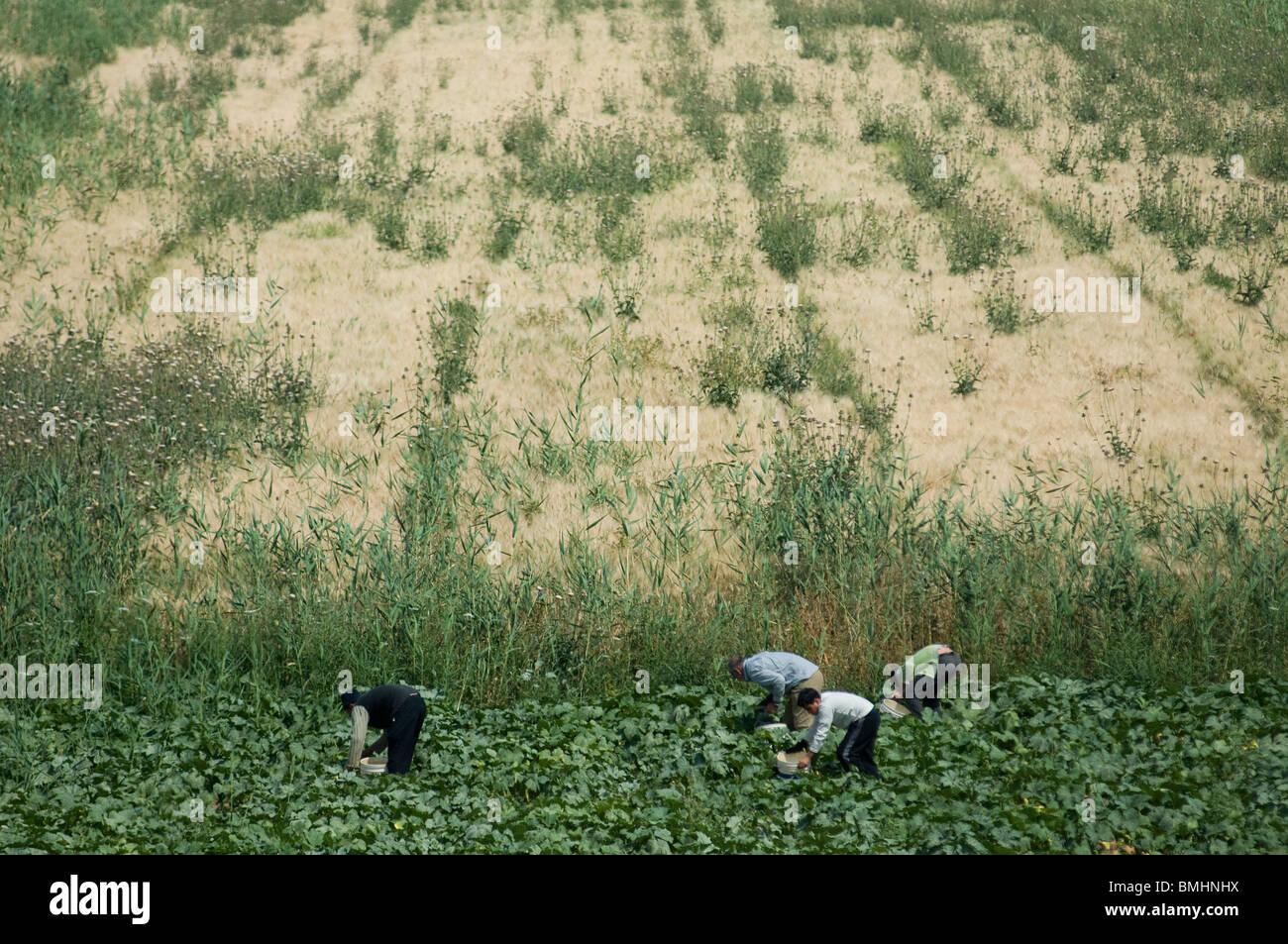 Jordanian farm workers harvesting in a field Jordan valley - Stock Image
