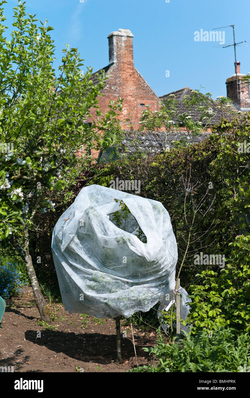 Fibrous horticultural fleece protecting small fruit tree in May from night frost - Stock Image