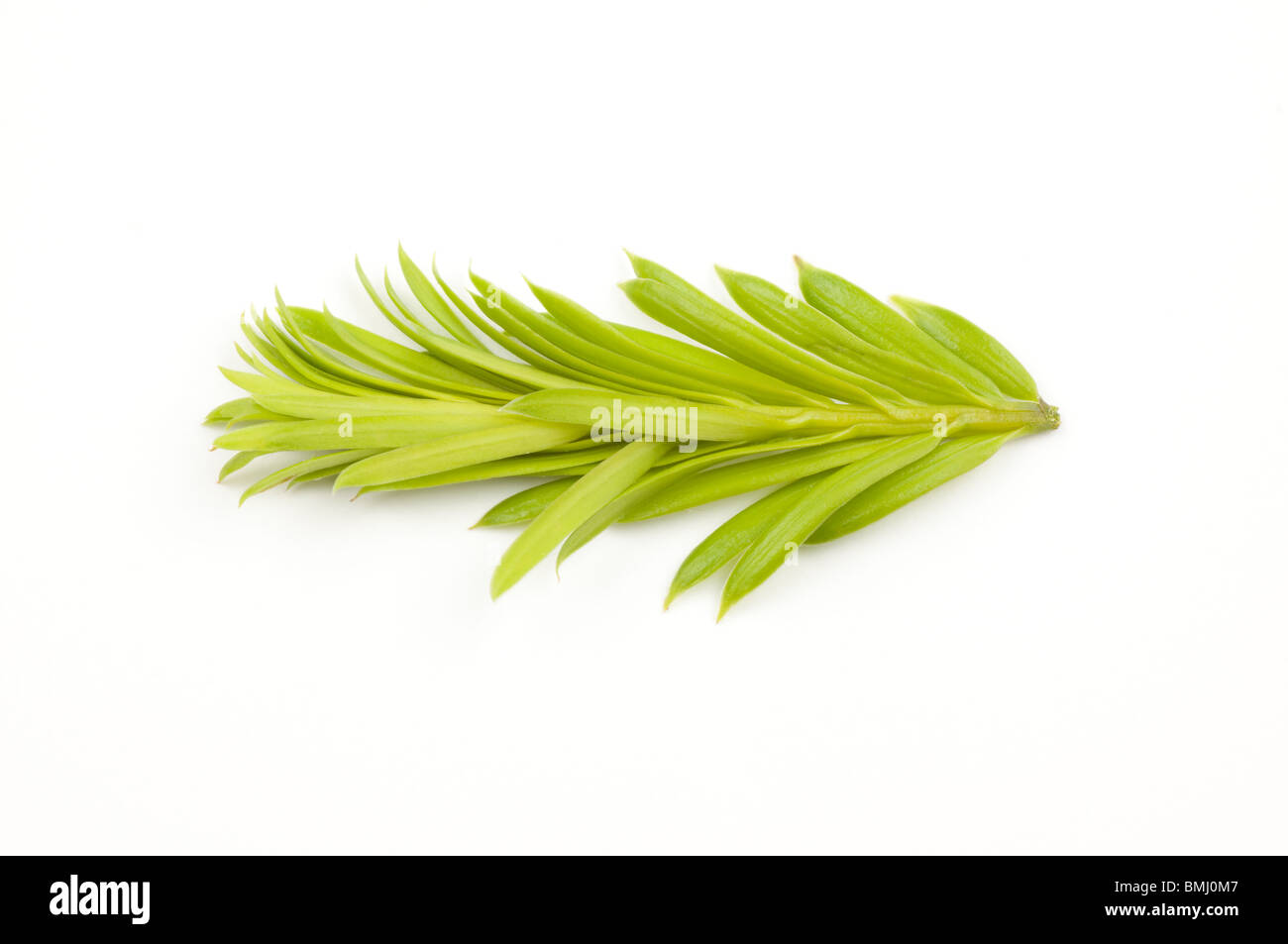 Isolated young shoot of spruce - Stock Image