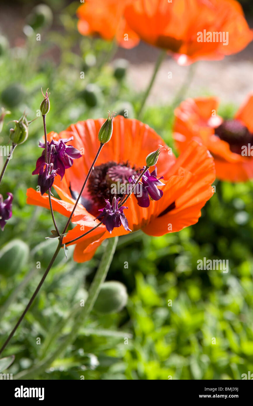 Red poppies Papaver rhoeas in an English garden in summer. - Stock Image