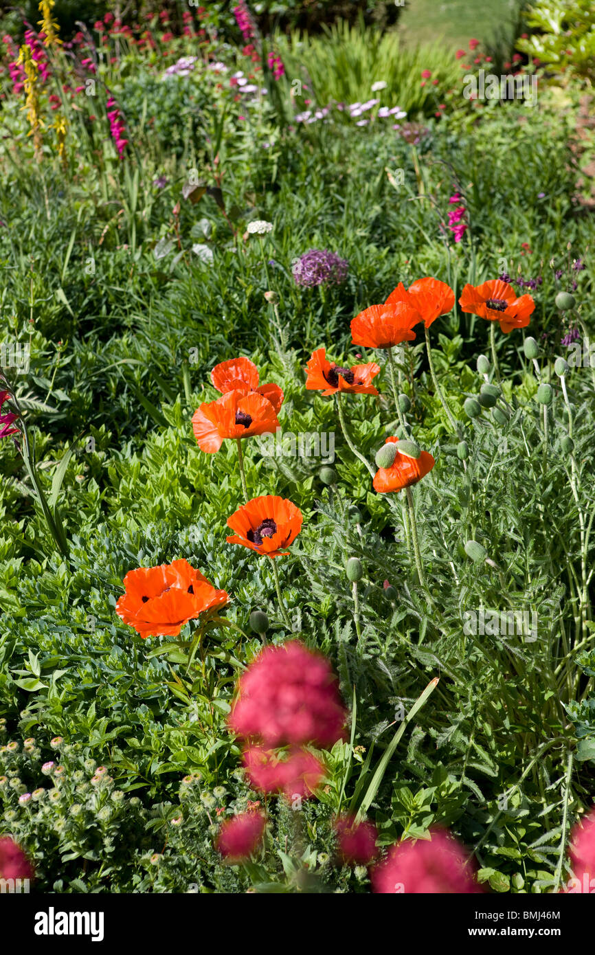 Shrubbery with poppies in an English country garden. - Stock Image