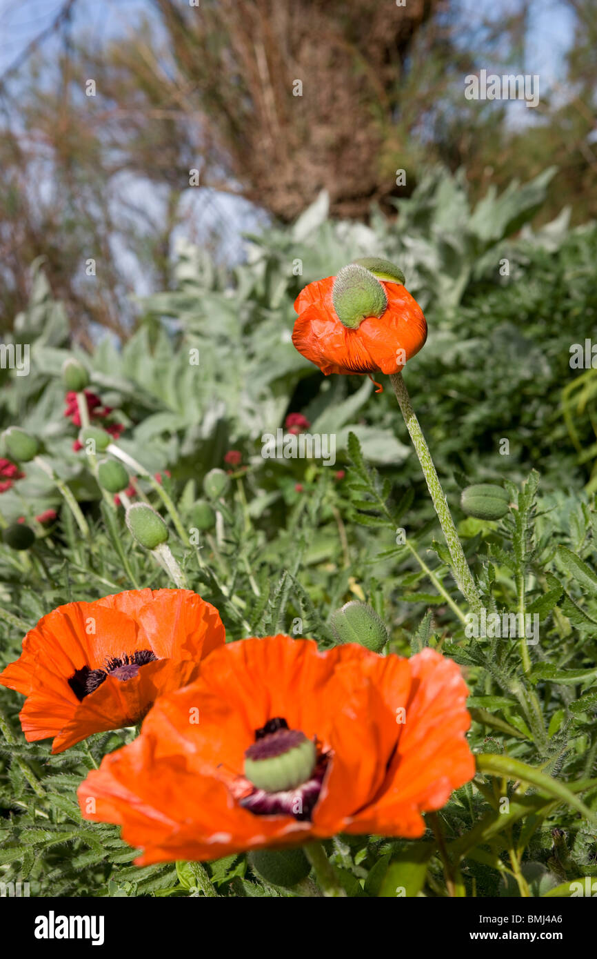 Red poppies Papaver rhoeas in a wooded garden in England in summertime. - Stock Image