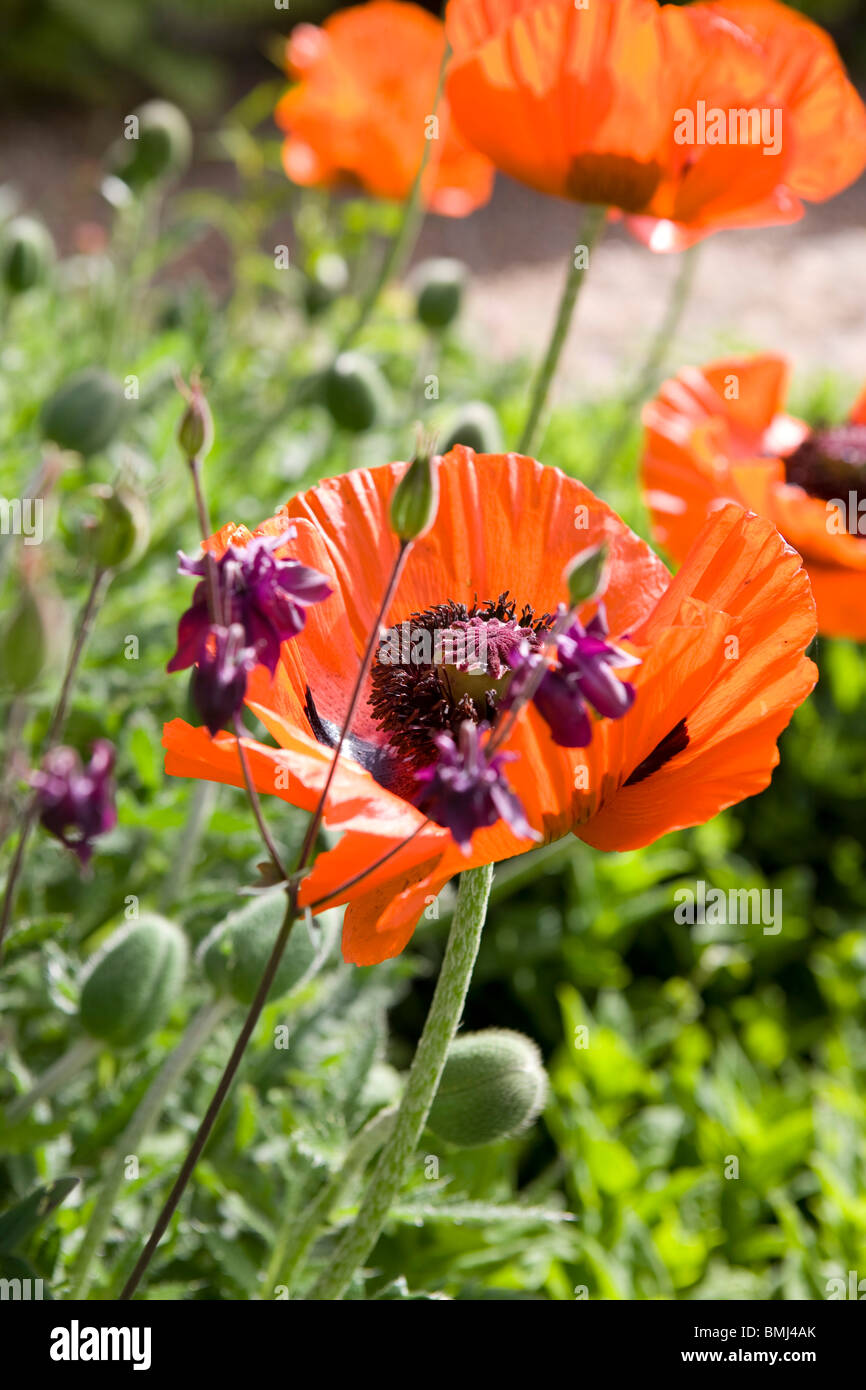Poppies Papaver rhoeas in the sunshine in an English garden. - Stock Image