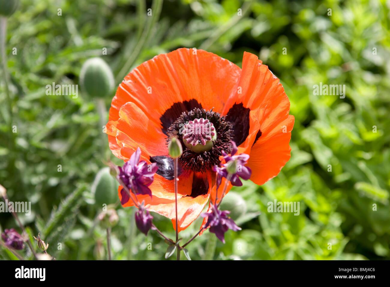 Red poppy Papaver rhoeas - Stock Image
