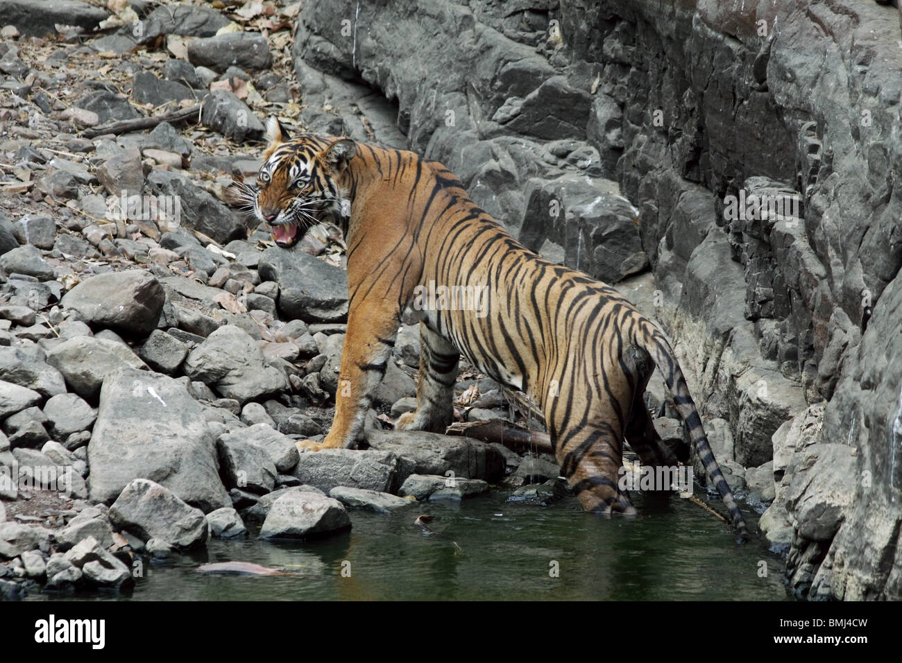 Tiger snarling while getting up from a water hole in Ranthambhore National Park, India - Stock Image