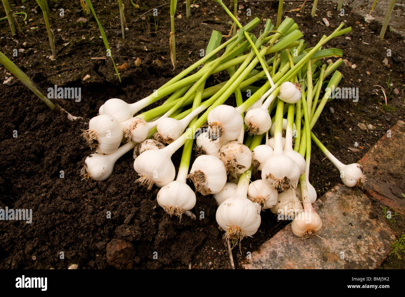 Freshly picked garlic from the garden Stock Photo