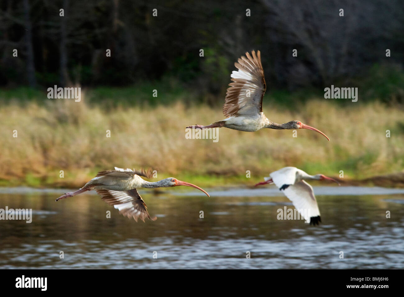 'White Ibis''Eudocimus albus''Birds in flight'Chincoteague National Wildlife Refuge. Maryland, - Stock Image