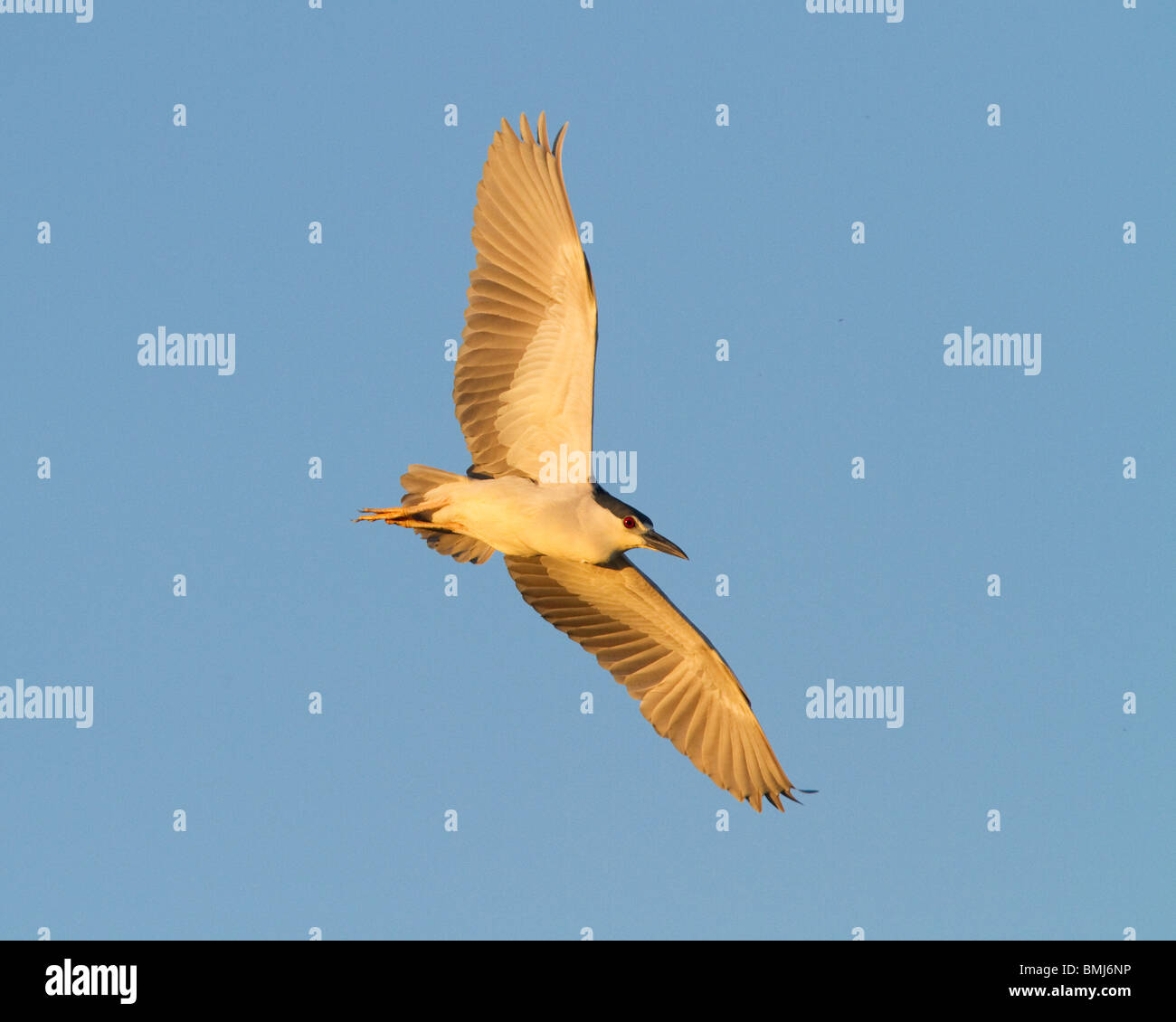 Black-crowned  Night-Heron in flight at sunset. 'Nycticorax nycticorax' Chincoteague National Wildlife Refuge. - Stock Image