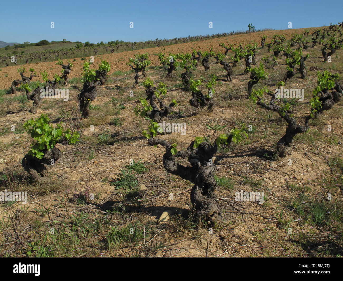 Vineyards in El Bierzo area. Leon province. Spain - Stock Image