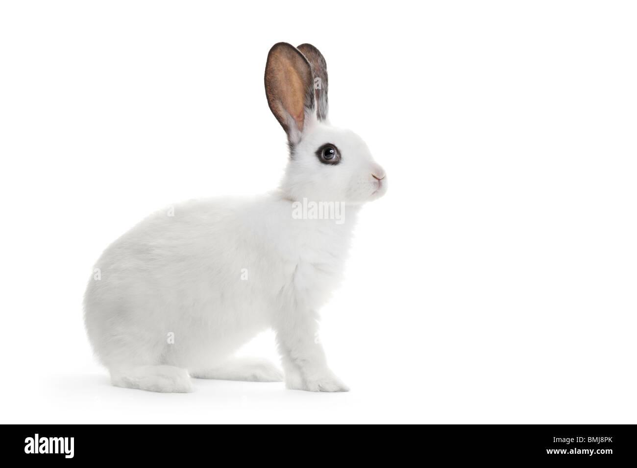 A white rabbit - Stock Image