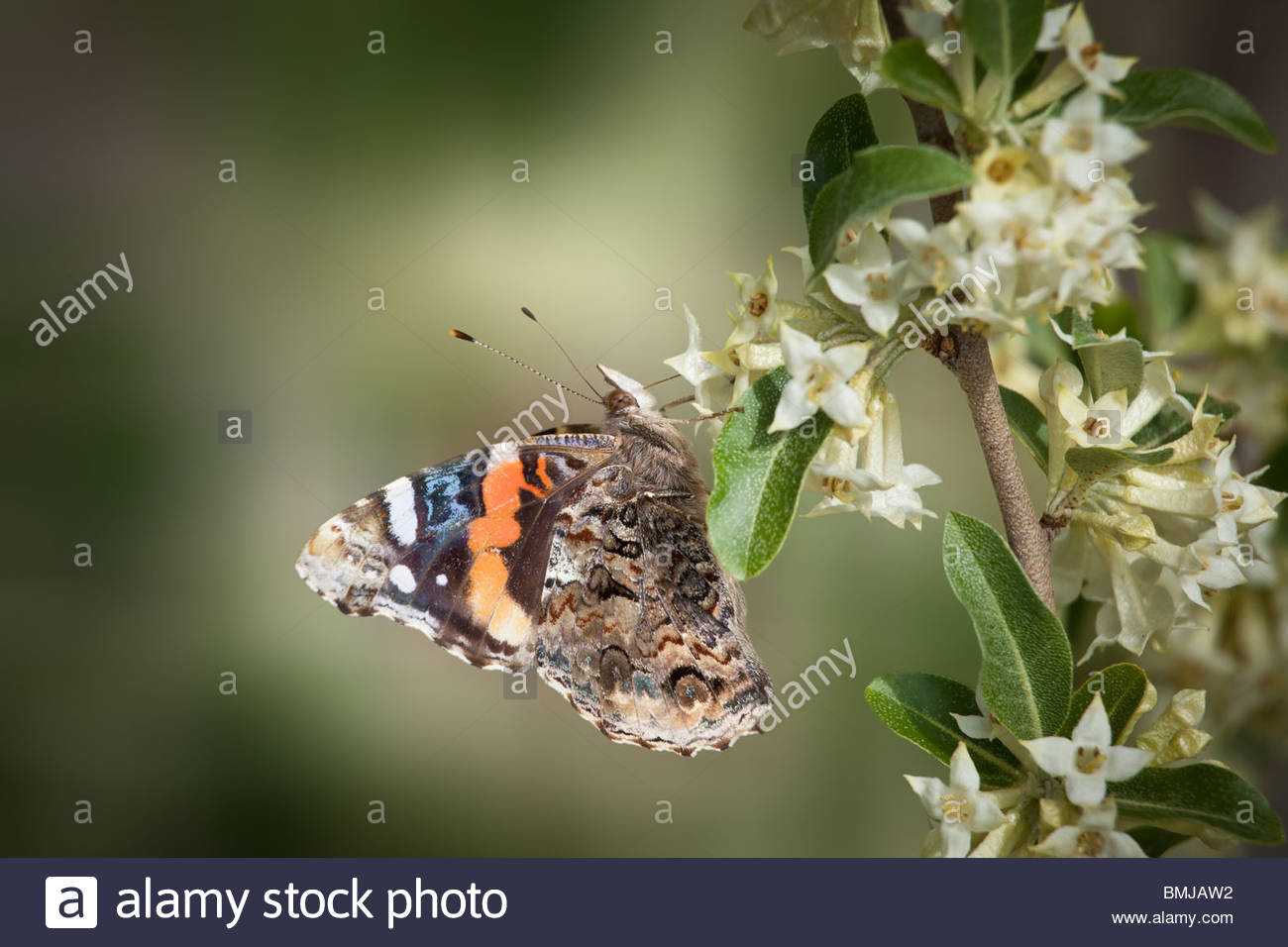 American Lady butterfly or Vanessa virginiensis in Rouge park an urban wilderness in Toronto Ontario Canada - Stock Image