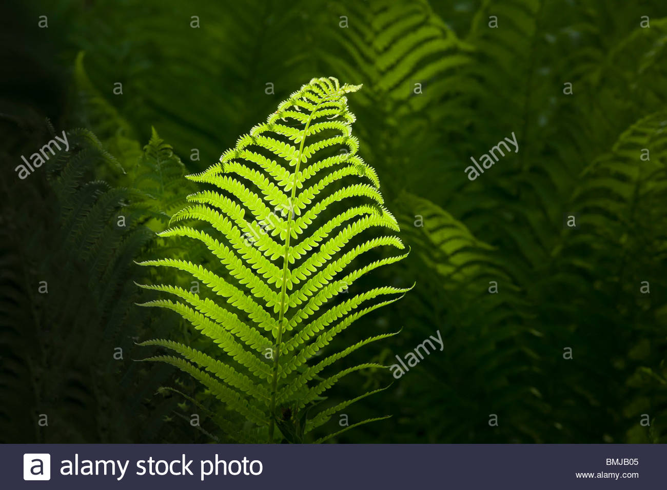 Fern in sunshine in Ontario Canada - Stock Image