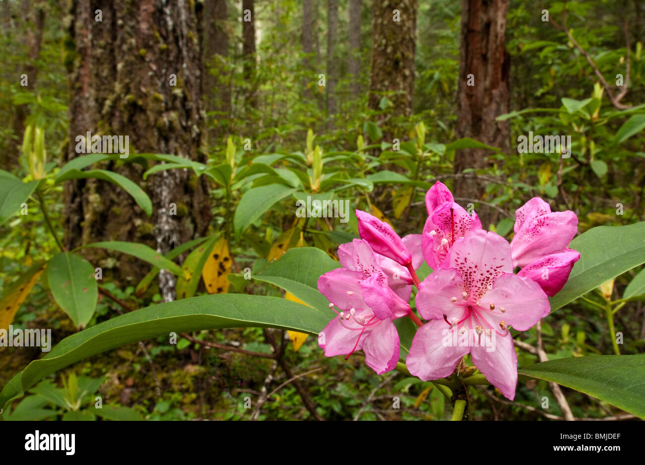 Rhododendron blooming in forest; McKenzie River Trail, Willamette National Forest, Oregon. - Stock Image