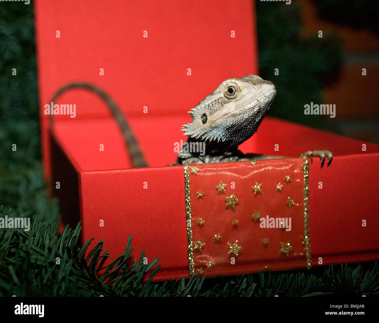 Scandinavia, Sweden, Stockholm, Bearded dragon in box, close-up - Stock Image