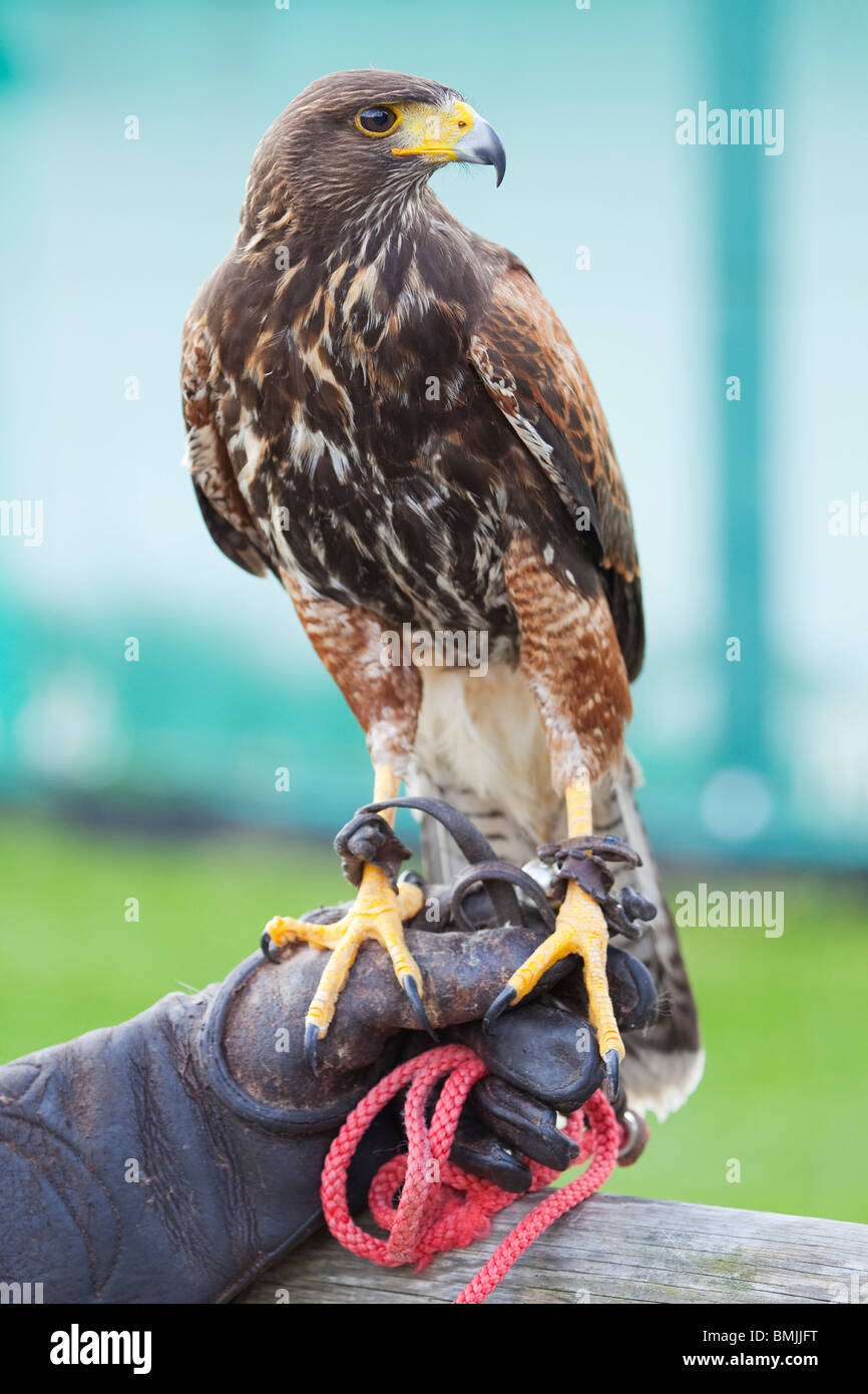 A Harris Hawk or Harris's Hawk (Parabuteo unicinctus) during a falconry demonstration in England - Stock Image