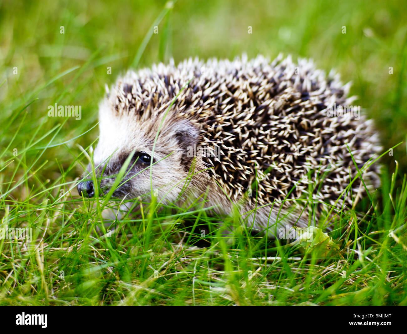 Scandinavia, Sweden, Hedgehog on grass, close-up - Stock Image