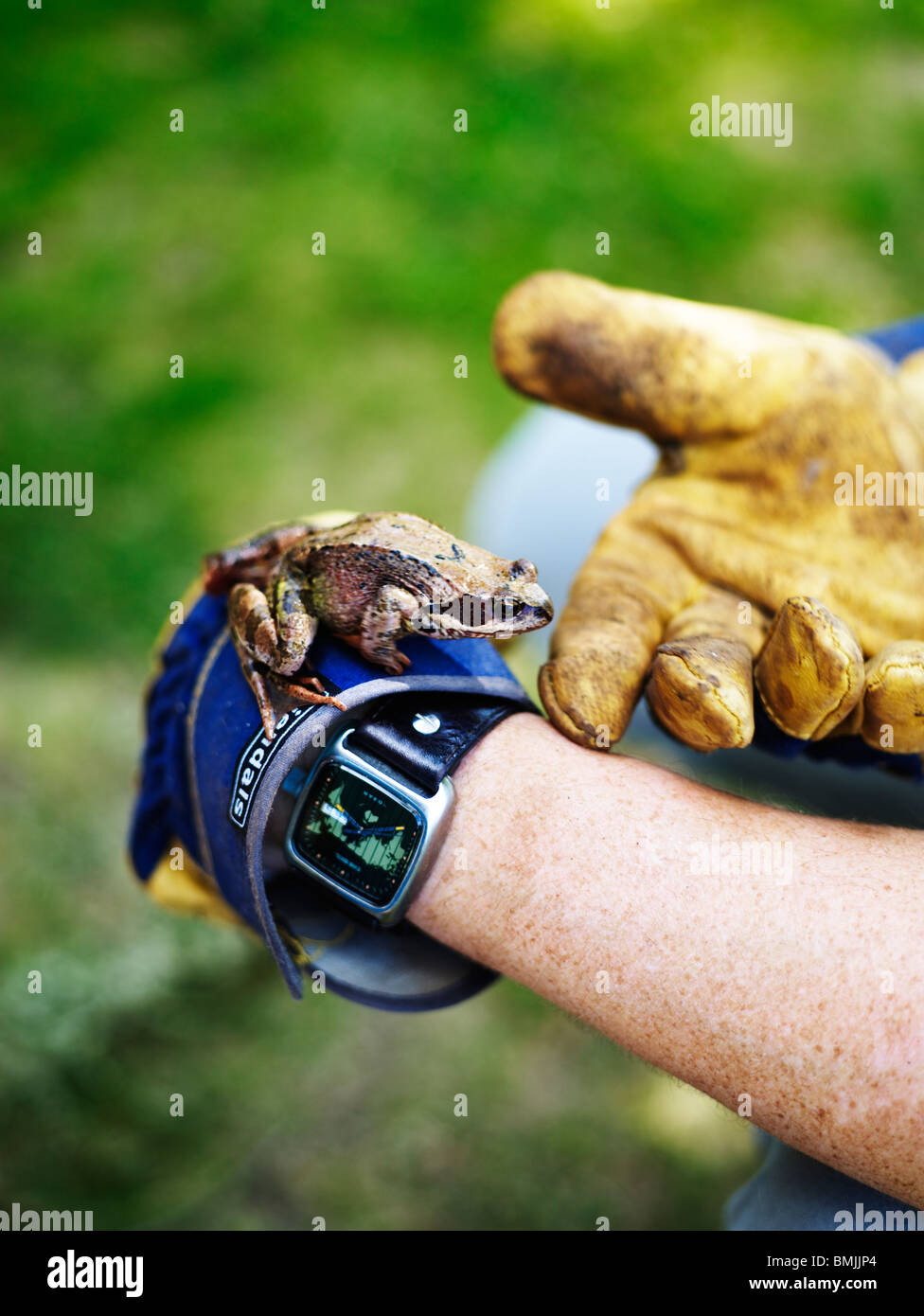 Scandinavia, Sweden, Frog on human hand, close-up Stock Photo