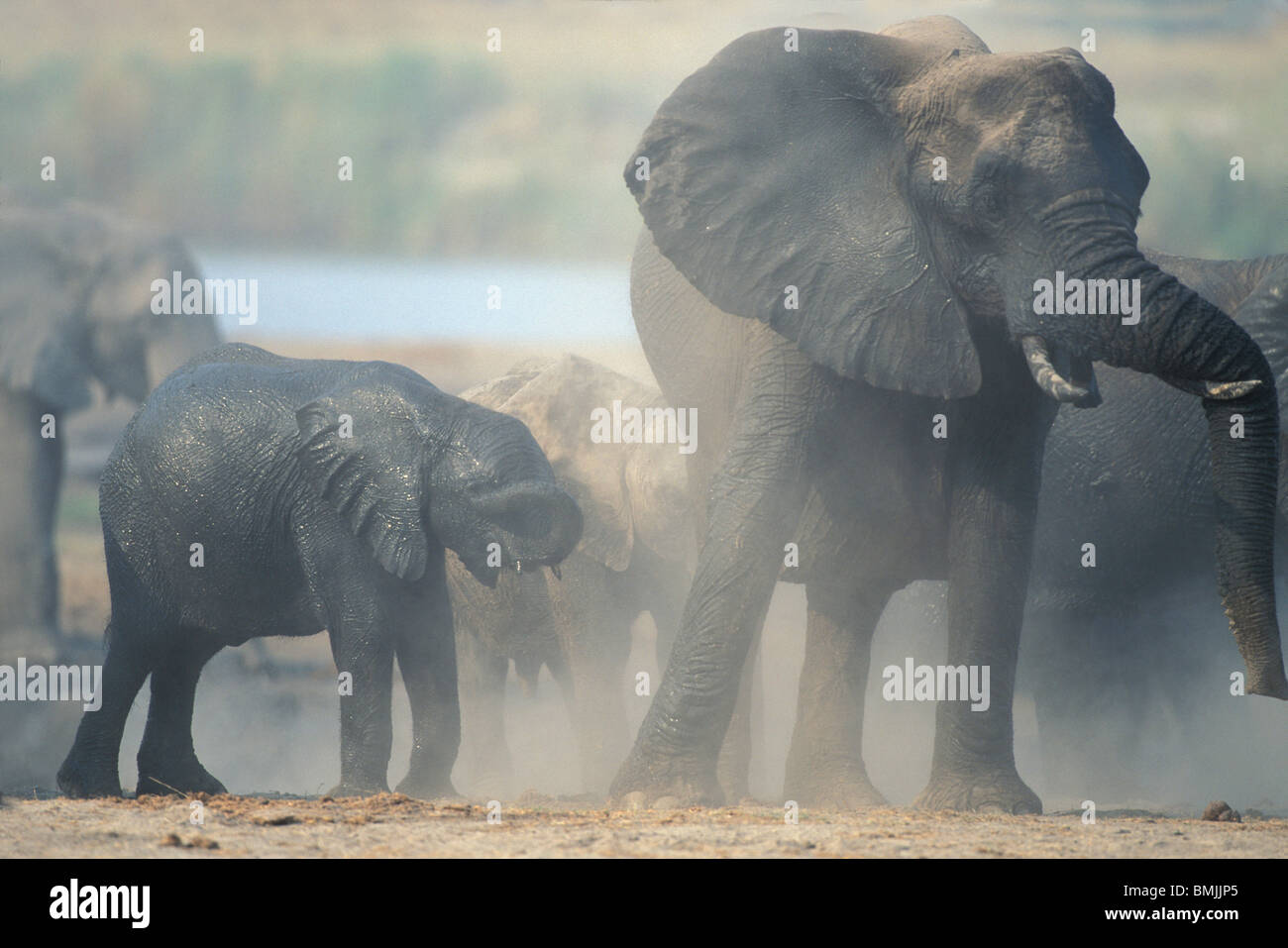 Botswana, Chobe National Park, Elephant herd (Loxodonta africana) raises cloud of dust along Chobe River - Stock Image