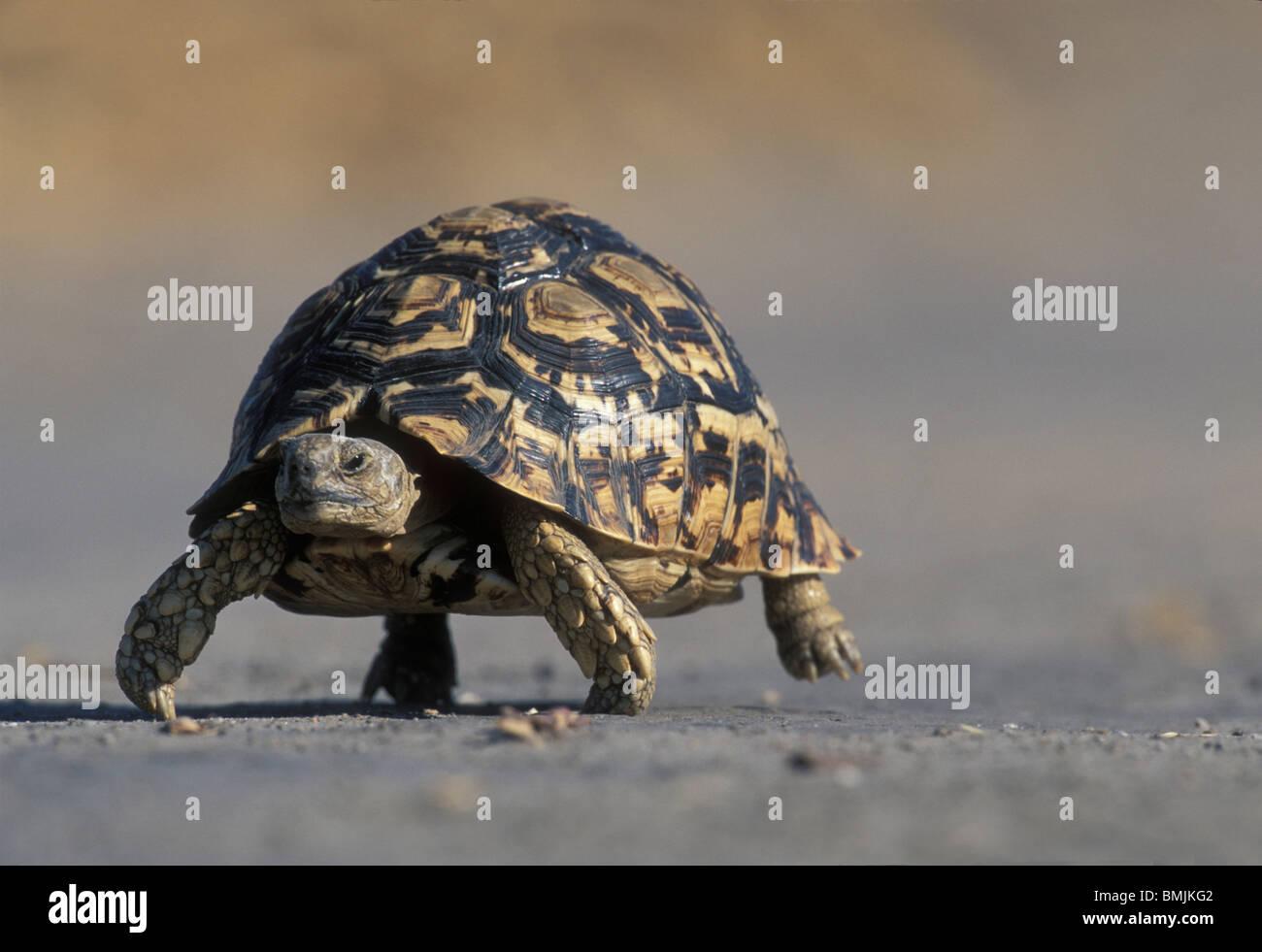 Botswana, Chobe National Park, Leopard Tortoise (Geochelone pardalis) slowly walks through dry sand in Savuti Marsh - Stock Image