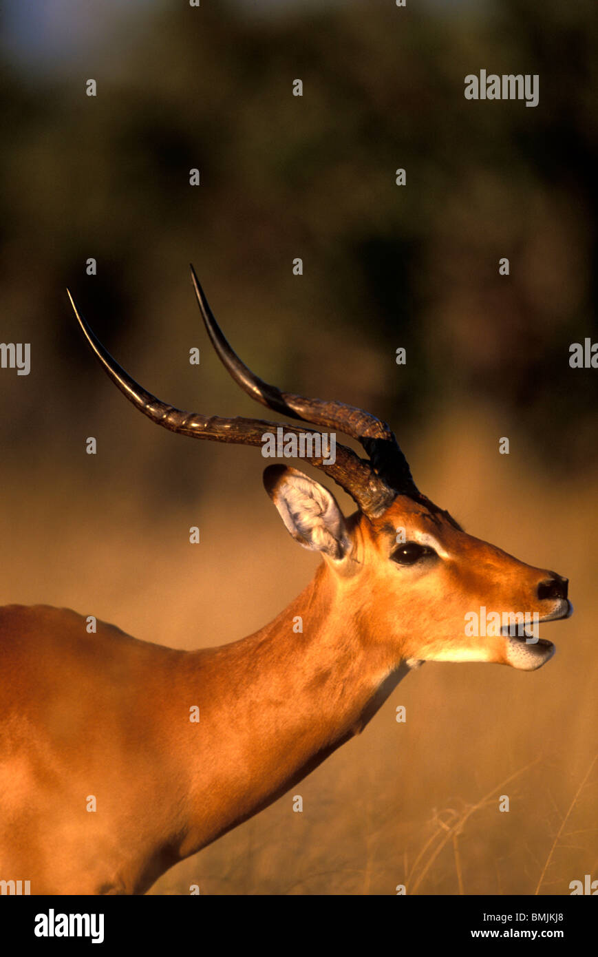 Africa, Botswana, Chobe National Park, Impala (Aepyceros melampus) in tall grass at sunset in Savuti Marsh Stock Photo