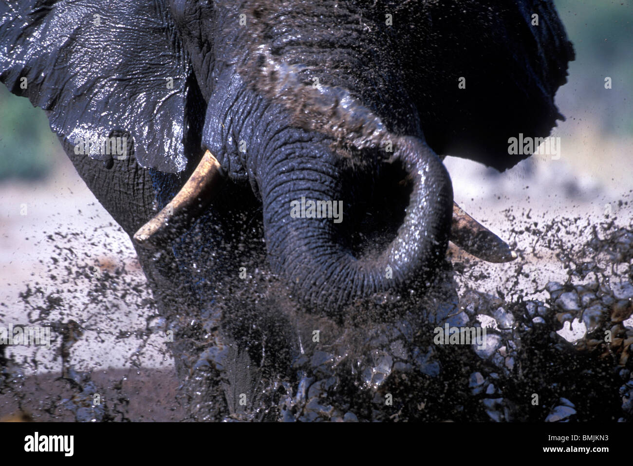 Botswana, Chobe National Park, Elephant (Loxodonta africana) splashes to cool off in water hole in Savuti Marsh - Stock Image