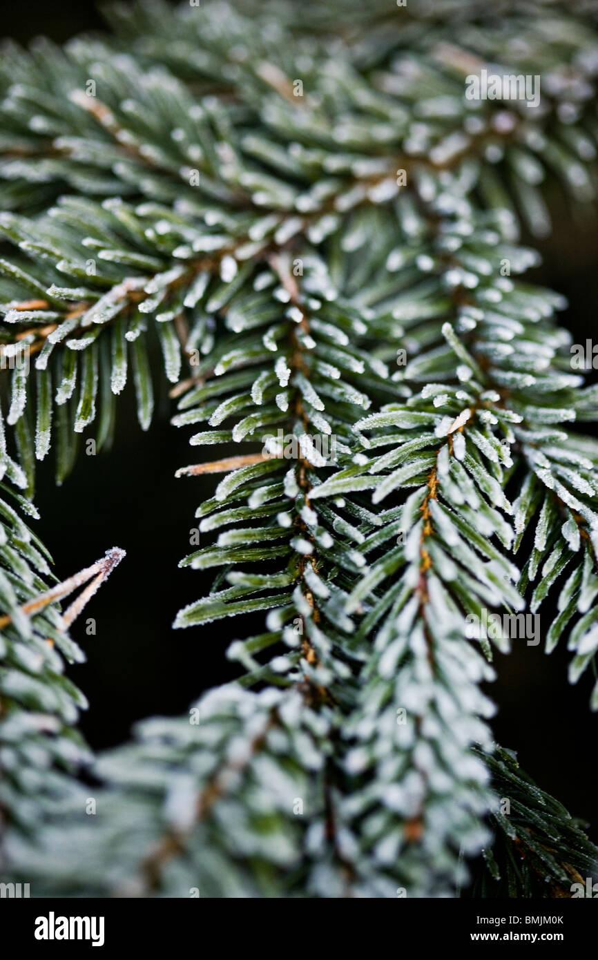 Scandinavian Peninsula, Sweden, Skane, View of coniferous branch, close-up - Stock Image