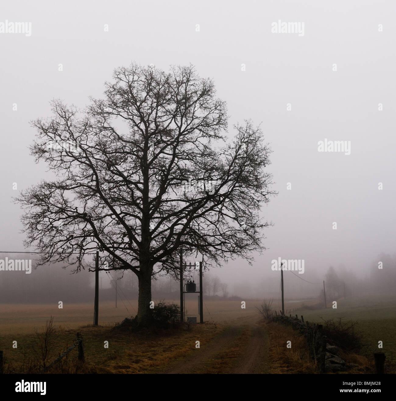 Scandinavian Peninsula, Sweden, Skane, View of oak tree in misty landscape - Stock Image