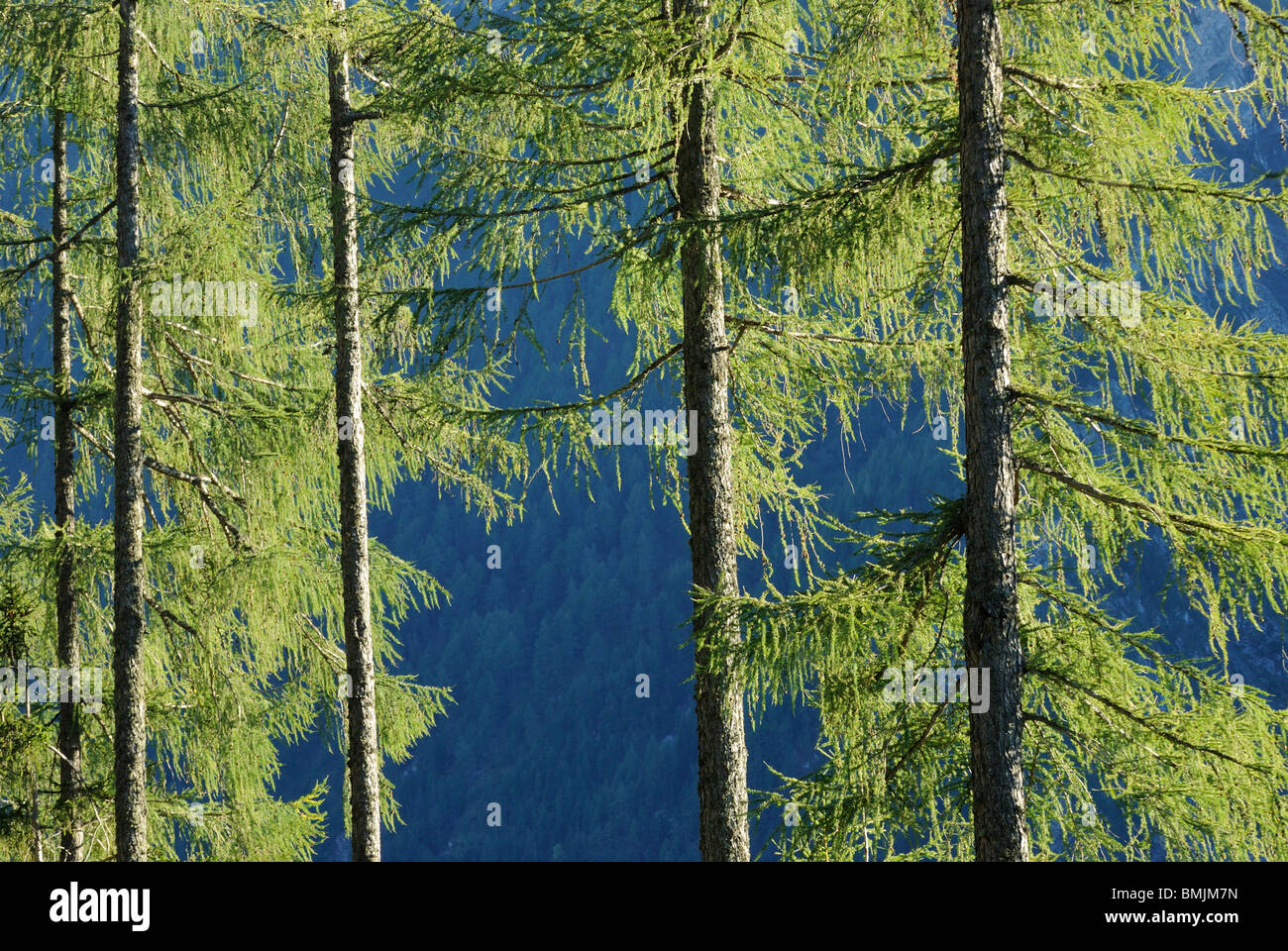 Europe, Austria, Coniferous trees in forest - Stock Image