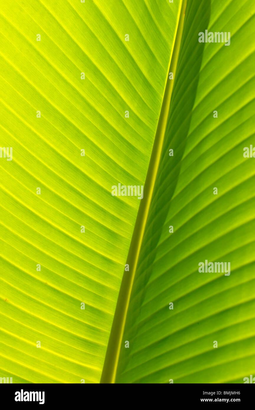 Madeira, Detail of banana leaf, close-up (full frame) - Stock Image